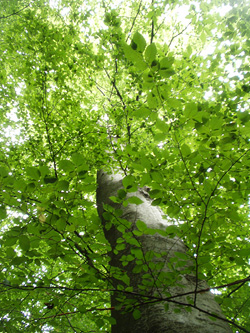Treed XII -- Through Summer …